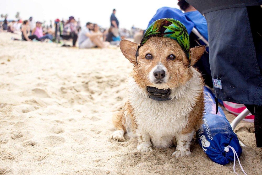 Orange-County-Dog-Photography-Pet-Huntington-Dog-Beach-SoCal-Corgi-Beach-Day_Steamer-Lee_016.JPG
