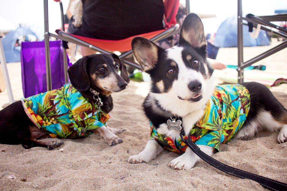 Jax and Dallas are back! I've been photographing these two since the first time I met them at Corgi Beach Day last summer. And now they're back in matching Hawaiian shirts.