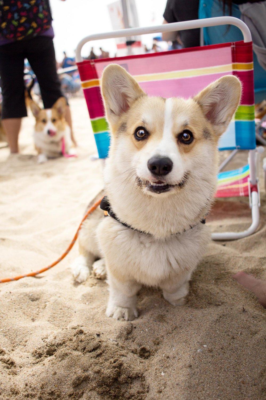 Orange-County-Dog-Photography-Pet-Huntington-Dog-Beach-SoCal-Corgi-Beach-Day_Steamer-Lee_027.JPG