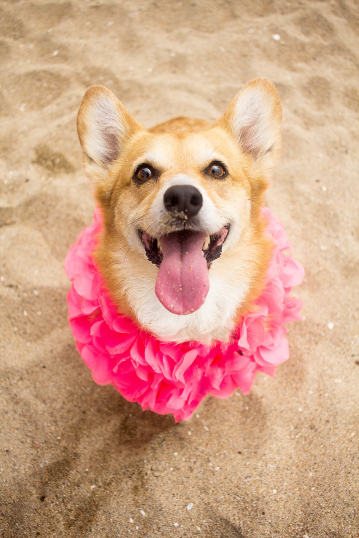 Orange-County-Dog-Photography-Pet-Huntington-Dog-Beach-SoCal-Corgi-Beach-Day_Steamer-Lee_030.JPG