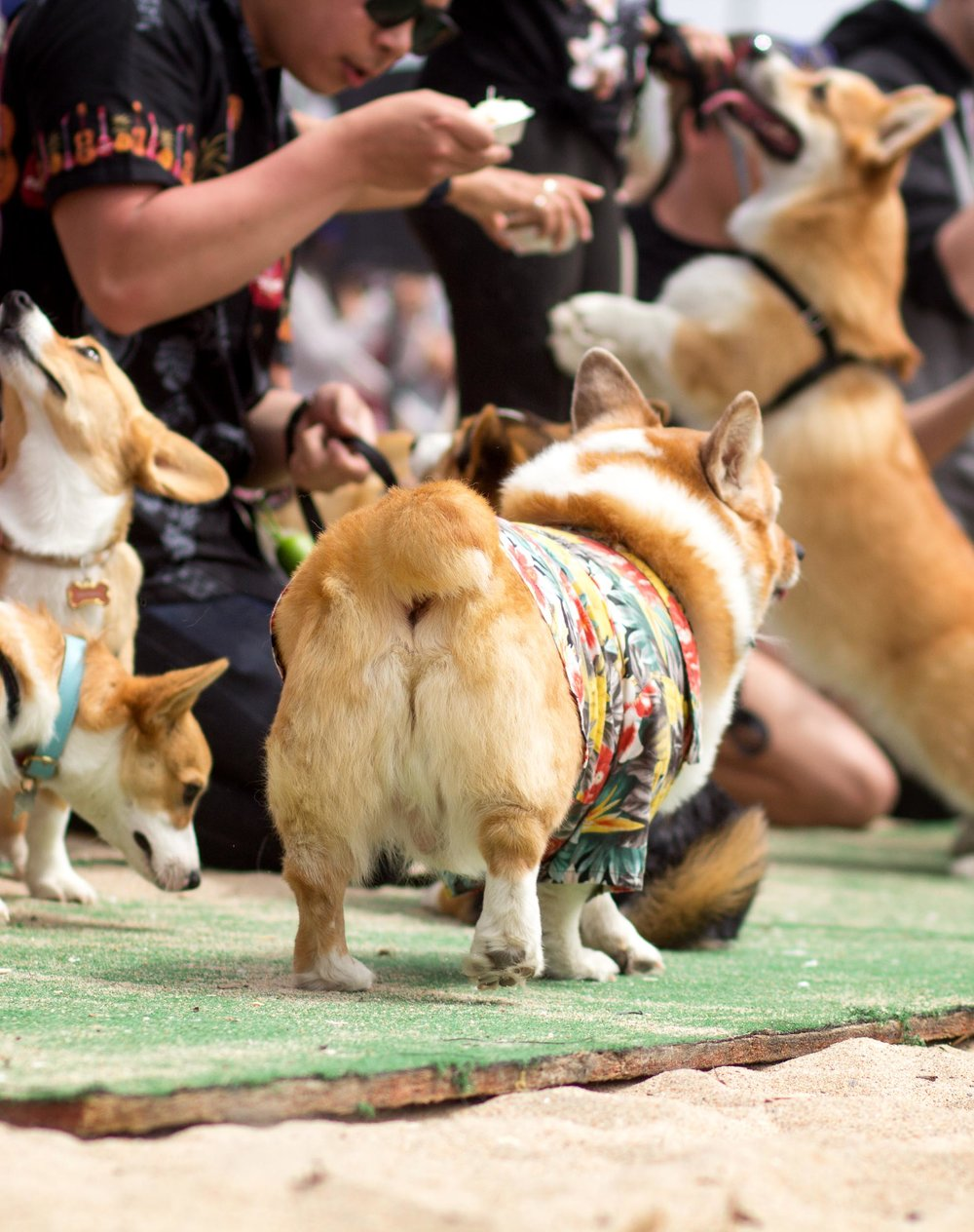 "And here's the famous Corgi ""Momo"" Contest. I learned ""Momo"" is the Japanese word for peach, which is what the Corgi's backside looks like. I missed the ""Best Momo"" contest, but here's one for fun. Mr. Pickles, is that you?"