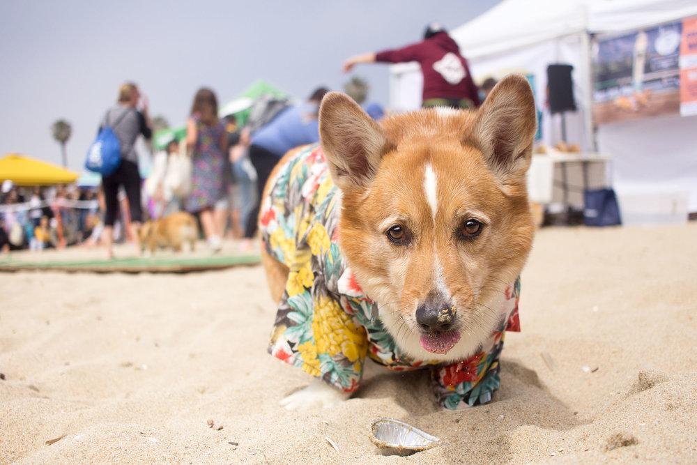 Orange-County-Dog-Photography-Pet-Huntington-Dog-Beach-SoCal-Corgi-Beach-Day_Steamer-Lee_039.JPG
