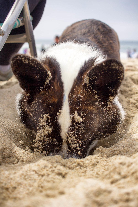 Orange-County-Dog-Photography-Pet-Huntington-Dog-Beach-SoCal-Corgi-Beach-Day_Steamer-Lee_043.JPG