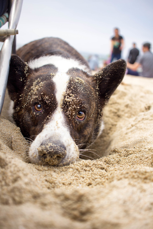 Orange-County-Dog-Photography-Pet-Huntington-Dog-Beach-SoCal-Corgi-Beach-Day_Steamer-Lee_044.JPG