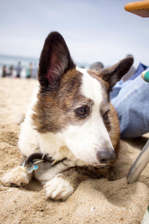Orange-County-Dog-Photography-Pet-Huntington-Dog-Beach-SoCal-Corgi-Beach-Day_Steamer-Lee_045.JPG