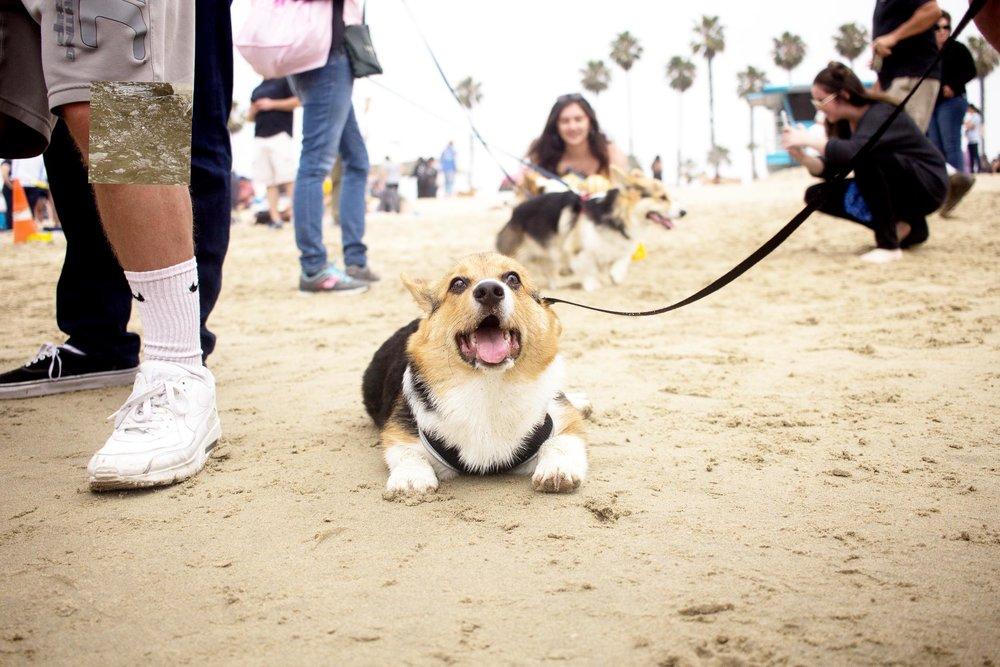 Orange-County-Dog-Photography-Pet-Huntington-Dog-Beach-SoCal-Corgi-Beach-Day_Steamer-Lee_047.JPG