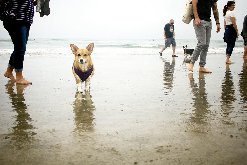 Orange-County-Dog-Photography-Pet-Huntington-Dog-Beach-SoCal-Corgi-Beach-Day_Steamer-Lee_051.JPG