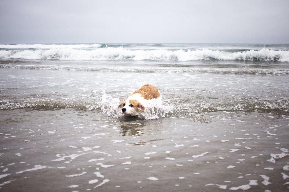 Orange-County-Dog-Photography-Pet-Huntington-Dog-Beach-SoCal-Corgi-Beach-Day_Steamer-Lee_056.JPG
