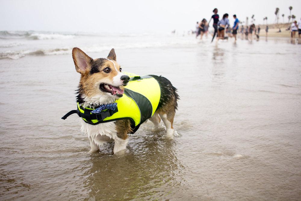 Orange-County-Dog-Photography-Pet-Huntington-Dog-Beach-SoCal-Corgi-Beach-Day_Steamer-Lee_058.JPG