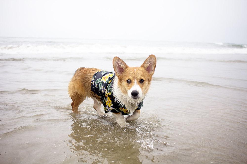 Orange-County-Dog-Photography-Pet-Huntington-Dog-Beach-SoCal-Corgi-Beach-Day_Steamer-Lee_060.JPG