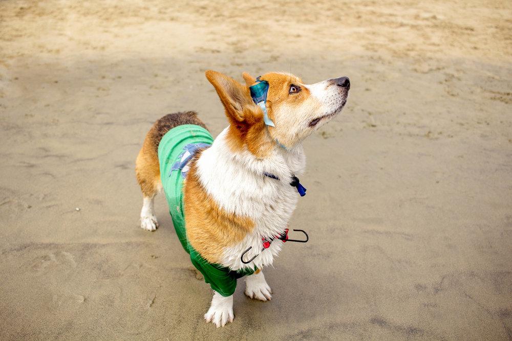 Orange-County-Dog-Photography-Pet-Huntington-Dog-Beach-SoCal-Corgi-Beach-Day_Steamer-Lee_063.JPG