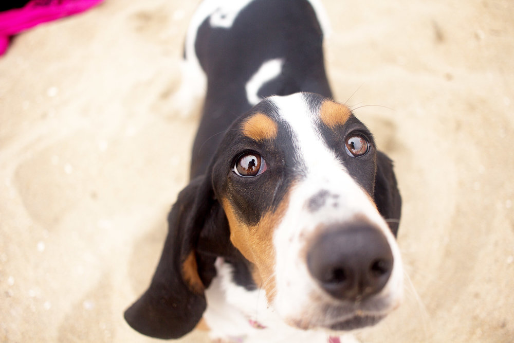 Orange-County-Dog-Photography-Pet-Huntington-Dog-Beach-SoCal-Corgi-Beach-Day_Steamer-Lee_095.JPG