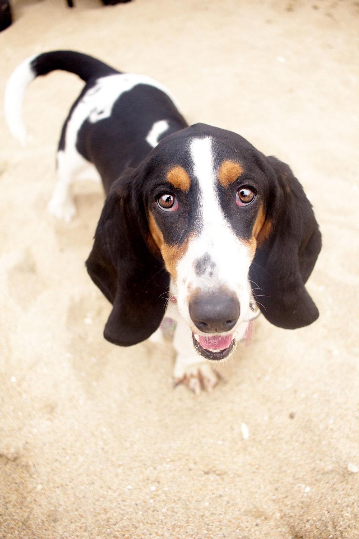 Orange-County-Dog-Photography-Pet-Huntington-Dog-Beach-SoCal-Corgi-Beach-Day_Steamer-Lee_096.JPG