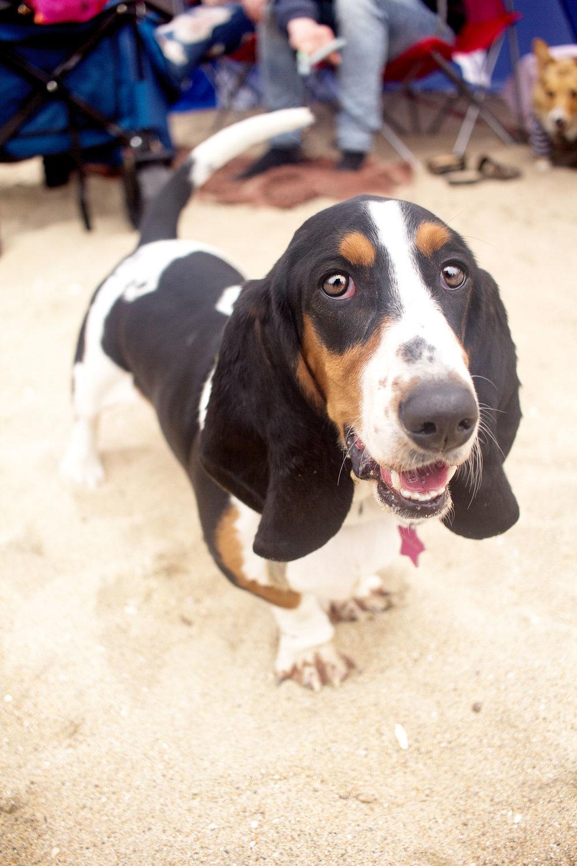 Orange-County-Dog-Photography-Pet-Huntington-Dog-Beach-SoCal-Corgi-Beach-Day_Steamer-Lee_098.JPG