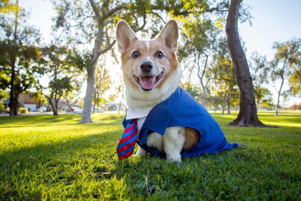Mr. Pickles. The inspiration, founder, mascot, and brand ambassador of So Cal Corgi Beach Day.