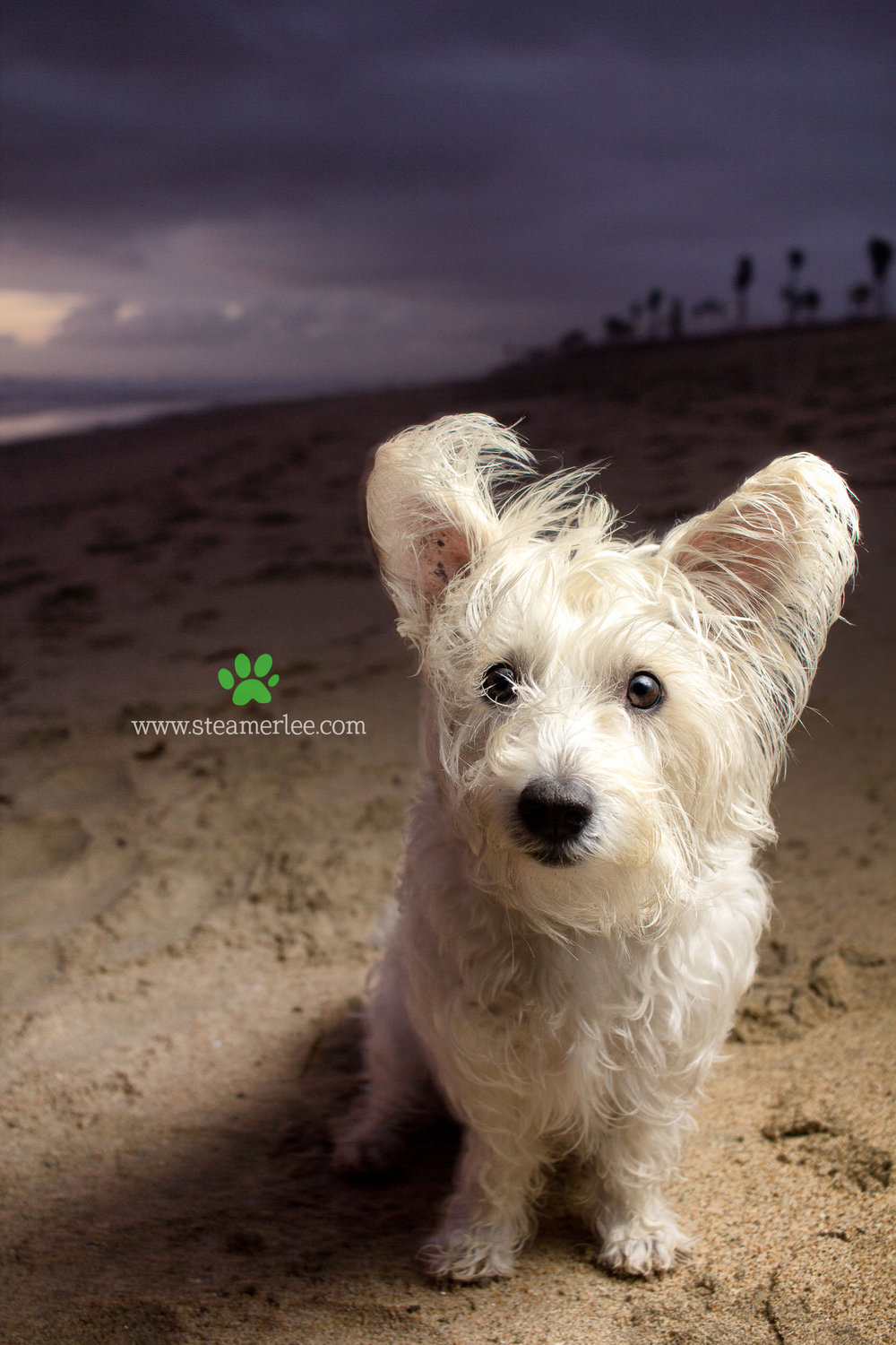 43-Orange-County-Dog-Photographer-Southern-California-Steamer-Lee.JPG