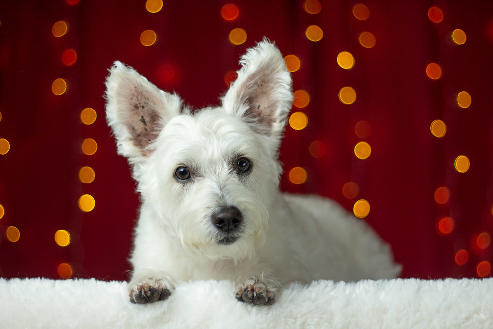 45-Orange-County-Dog-Photographer-Southern-California-Steamer-Lee.JPG