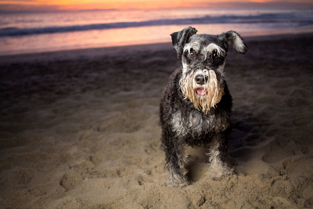 47-Orange-County-Dog-Photographer-Southern-California-Steamer-Lee.JPG