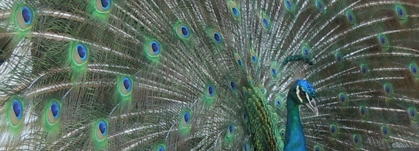 Peacock in Jamaica 1b.jpg