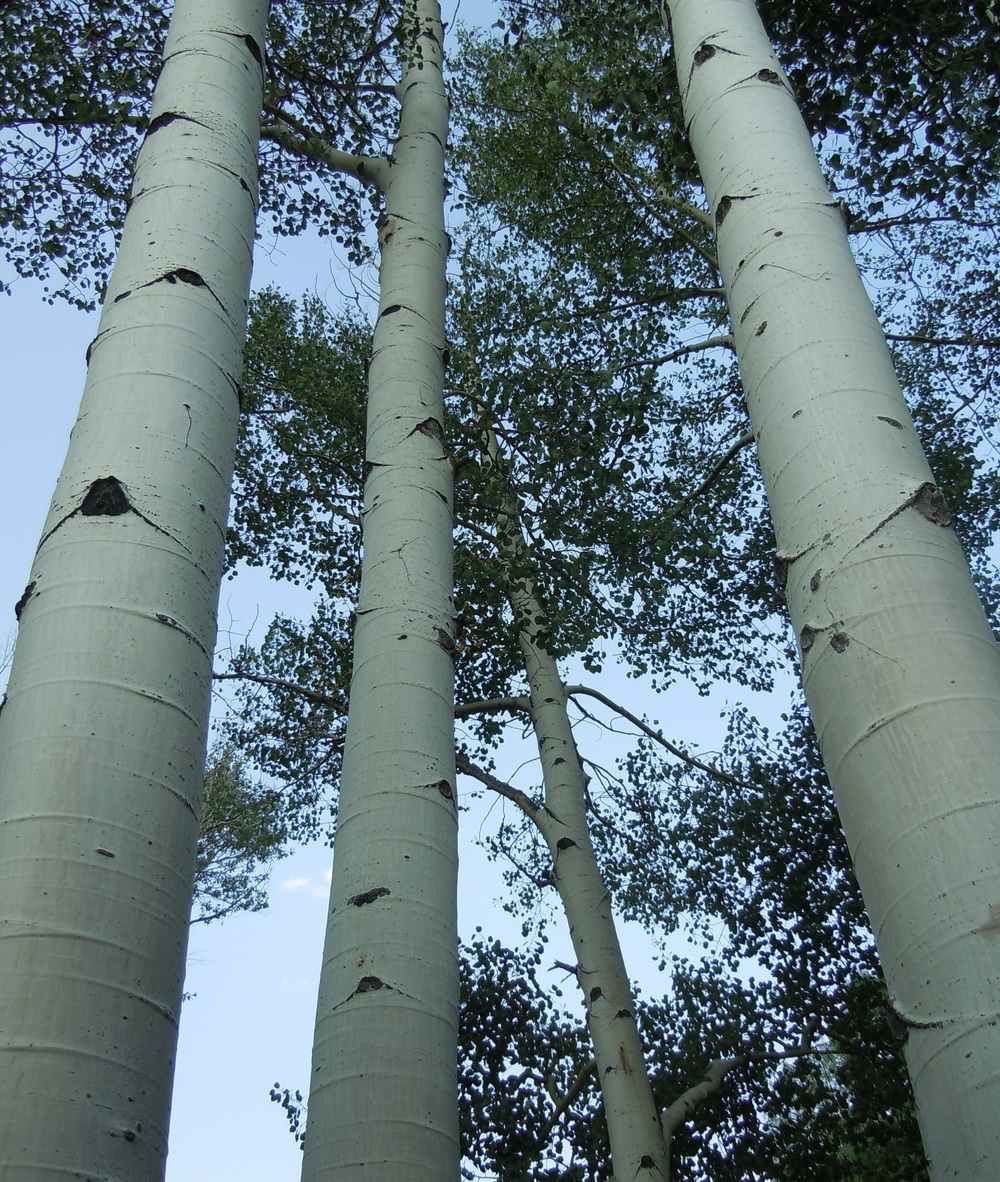 Colorado birch.jpg
