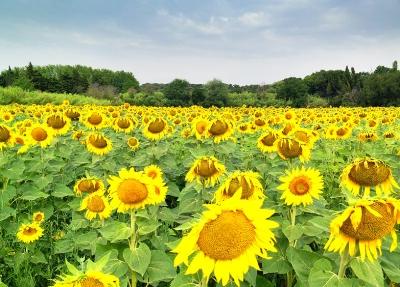 France sunflowers.jpg