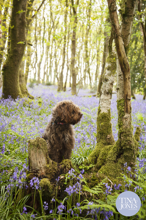 Rufus in the bluebells