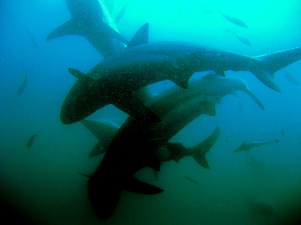 Umkomaas shark dive (45)_2.jpg