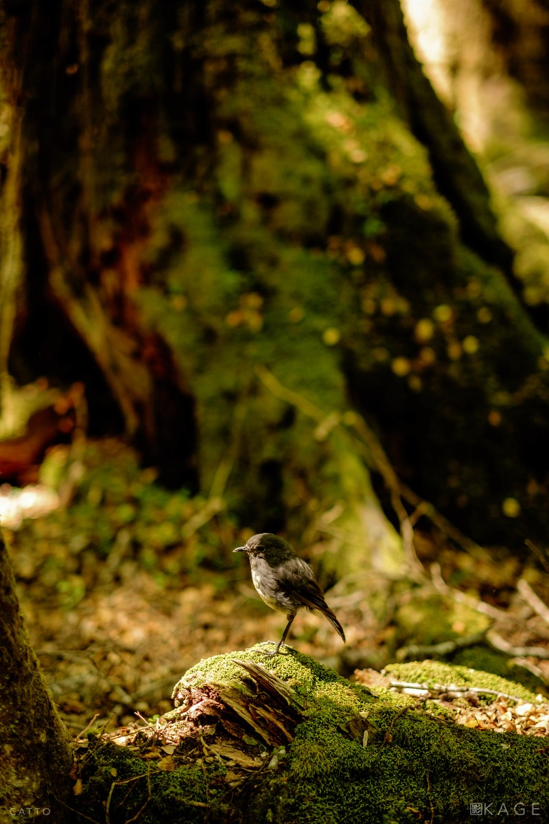 Toutouwai (New Zealand Robin), near Paradise