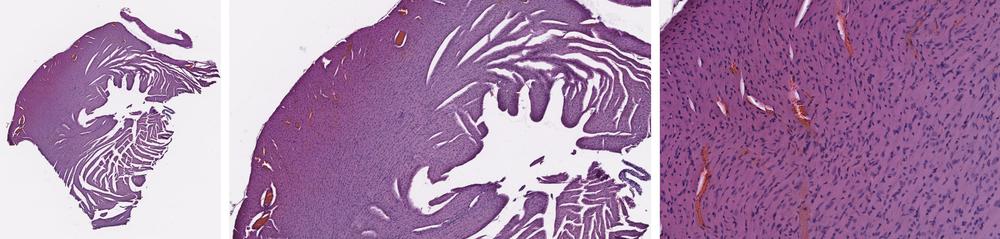 H&E Slide of Mouse Heart Following Visikol® HISTO™ Reversal.