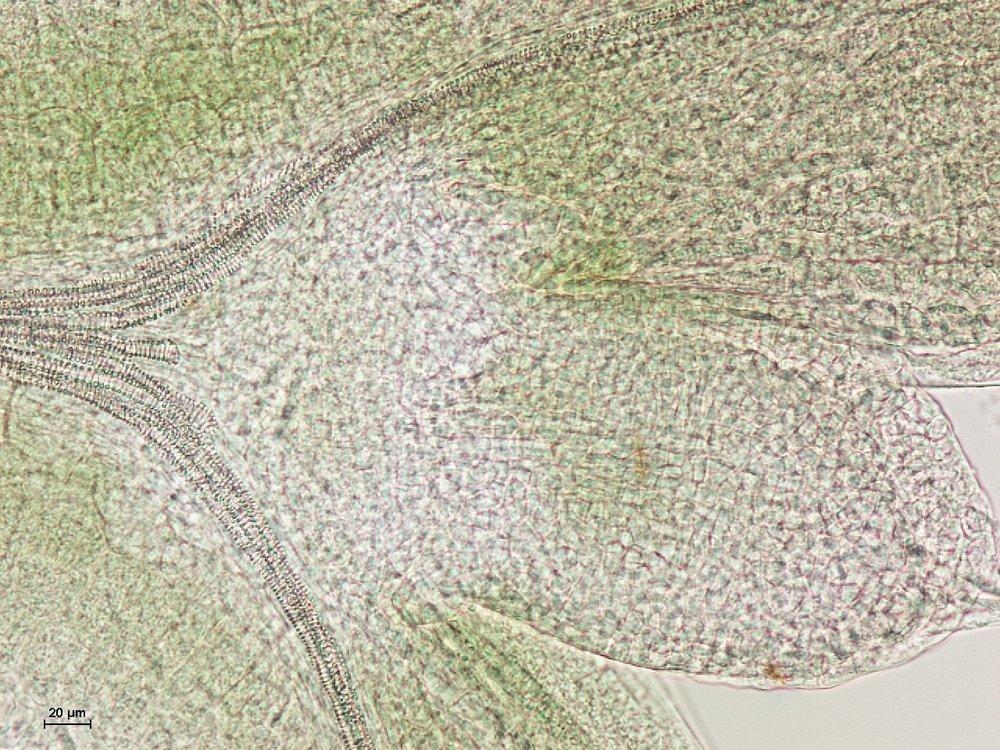 Arabidopsis - Apical Meristem