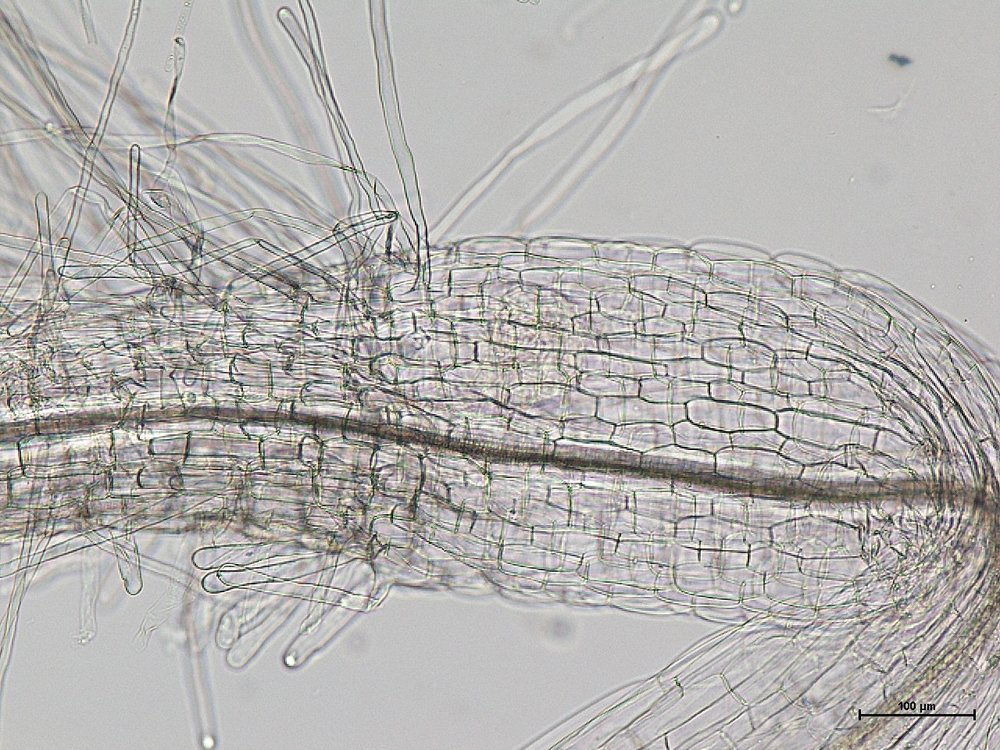Arabidopsis - Root