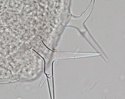 Visikol for Plant Biology - Trichome