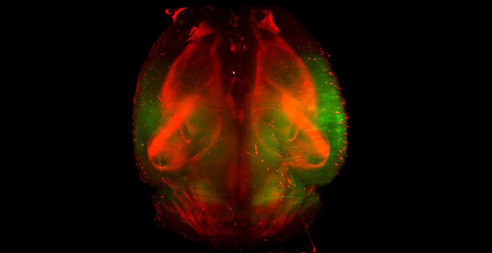 Visikol HISTO Mouse Brain