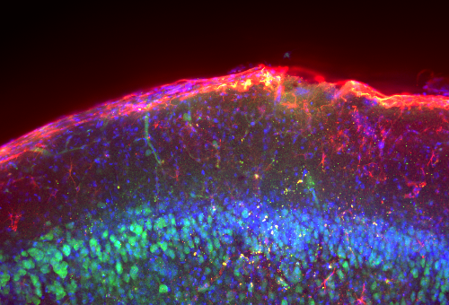 Mouse brain labeled with NeuN & DAPI