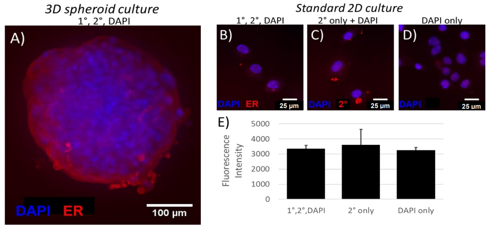 Figure        SEQ Figure \* ARABIC     1      : ER expression in 3D spheroids (A) and 2D cultures (B-E). (E) Mean fluorescence intensity of cells from each of 3 labeling conditions. Data represent mean ± SEM; one-way ANOVA with Bonferroni post-hoc revealed no significant differences between 1°/2°/DAPI labeled cells and either 2°-only or DAPI-only labeled cells.