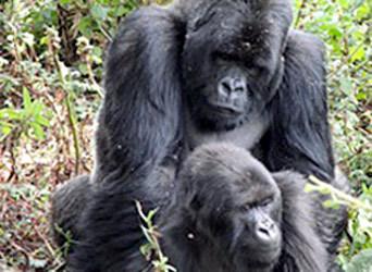 blog-gorillas-sosthene.jpg