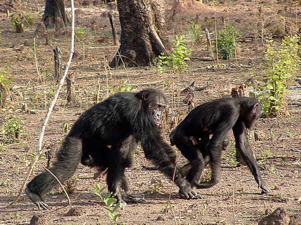 Chimps on the savanna in Senegal.