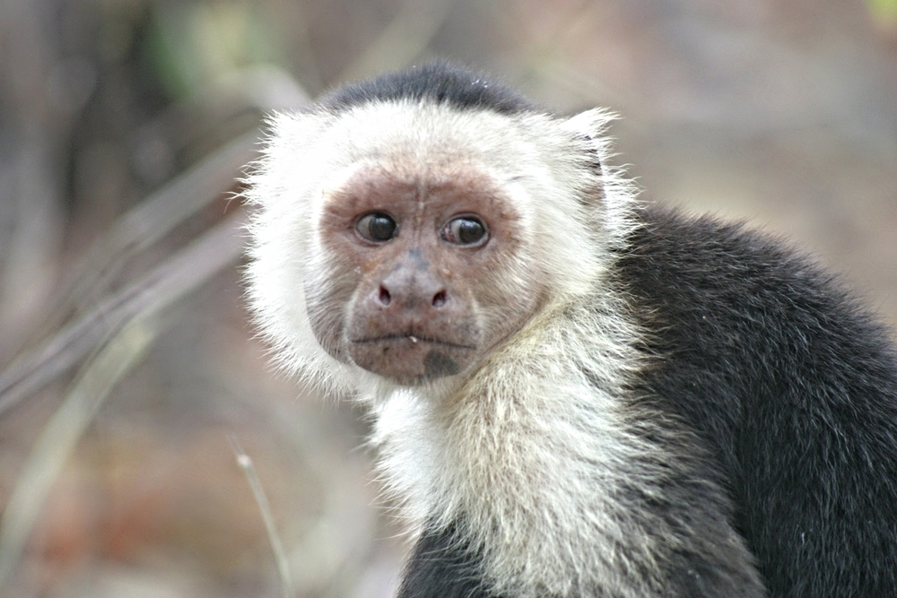Adult male capuchin
