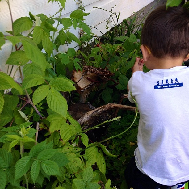 A tiny Leakey Foundation supporter picking raspberries #nofilter #evolution #humanorigins