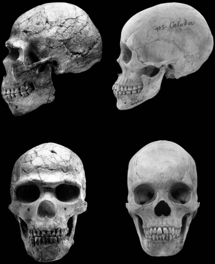 Craniofacial feminization in Homo sapiens. The 110-90 Ka year old male specimen Skhul 5 (left) in lateral (top) and frontal (bottom) views, compared to that of a recent African male (right), showing the large brow ridges and long and narrow, masculinized face characteristic of MSA/MP-associated modern humans. Both specimens have been scaled to the same nasion-bregma height and aligned on those landmarks. Photo credit- David Brill, used with permission. From Craniofacial Feminization, Social Tolerance, and the Origins of Behavioral Modernity by Cieri et al.