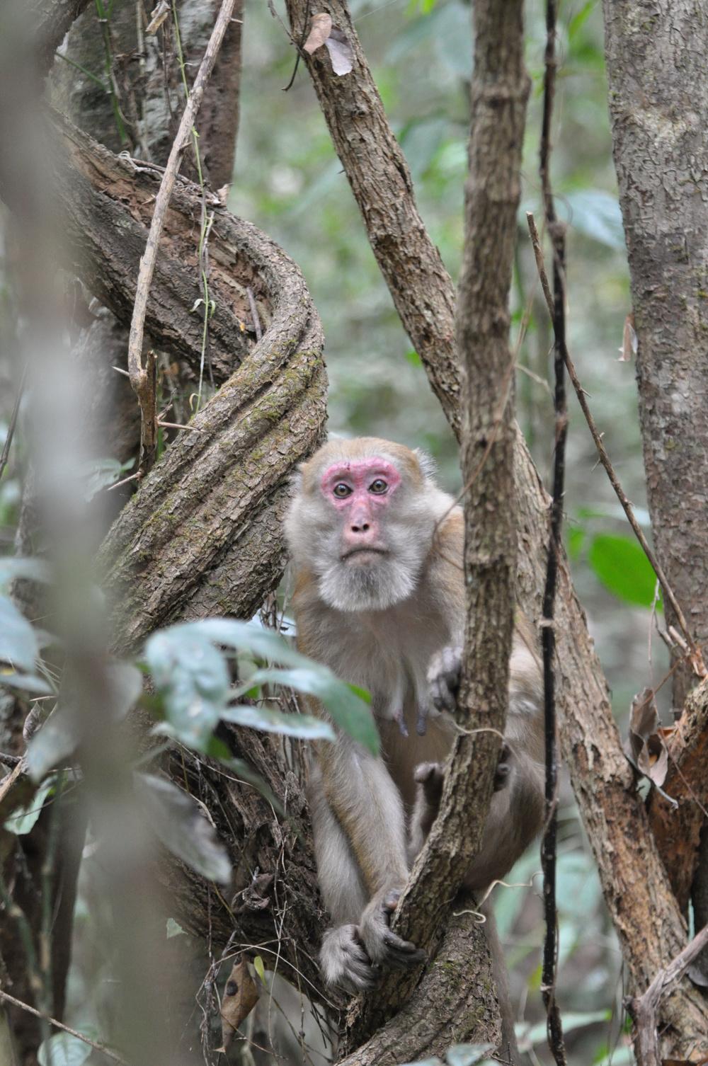 Female Assamese macaque