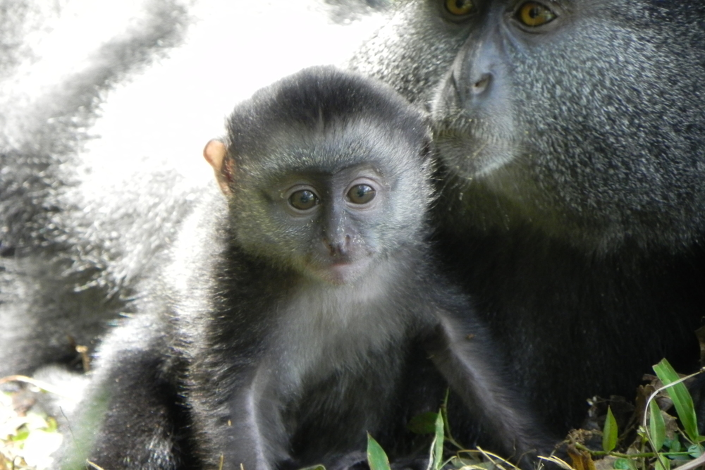 Young blue monkey