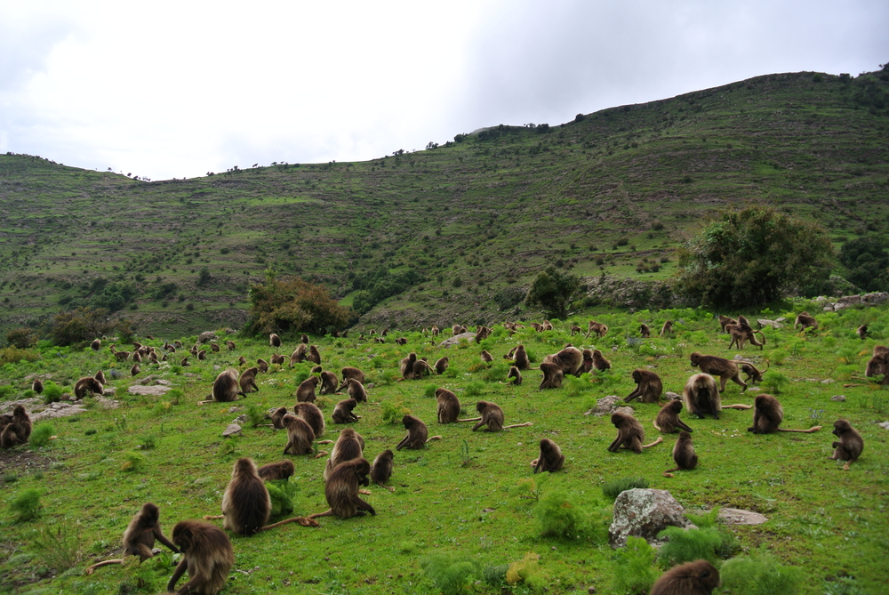 July 2014 (rainy season): A large band of geladas spends the last minutes of daylight foraging before heading back down to the safety of the cliffs to sleep. Photo by E. Tinsley Johnson.