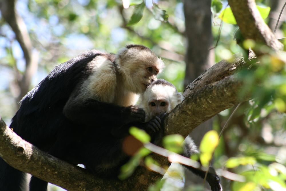 Female white-faced capuchins (Cebus capucinus)