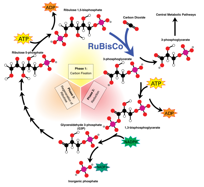 C3 Pathway (or Calvin Cycle)