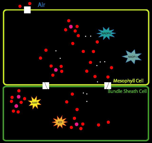 C4 Pathway (or Hatch-Slack Pathway)