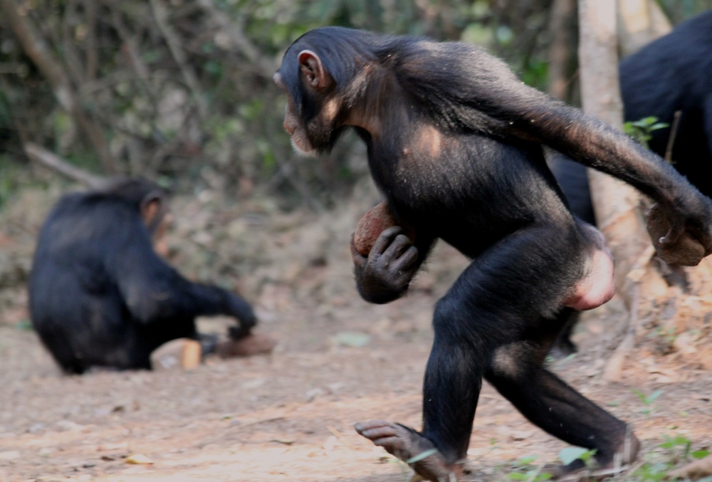 Chimpanzee in Bossou demonstrates how to carry nuts and stone tools with just two feet on the ground. Jules Dore CC BY-NC-ND