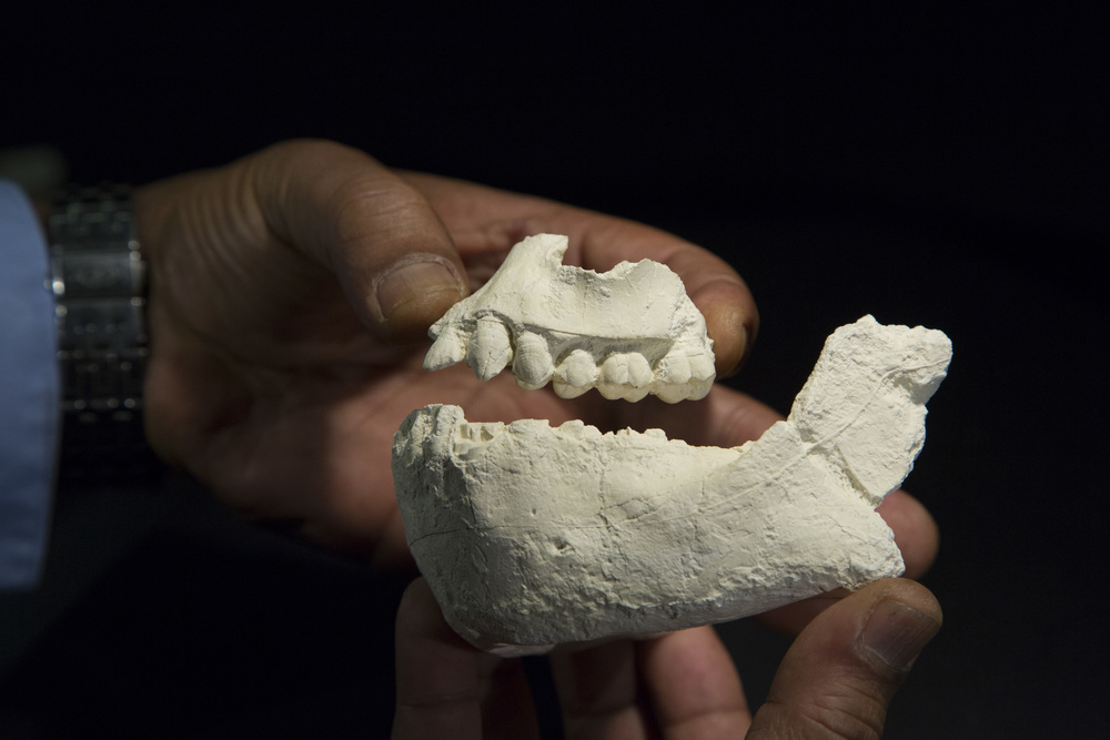 Casts of the jaws of Australopithecus deyiremeda, a new human ancestor species from Ethiopia, held by principal investigator and lead author Dr. Yohannes Haile-Selassie of The Cleveland Museum of Natural History. Photo credit: Laura Dempsey.