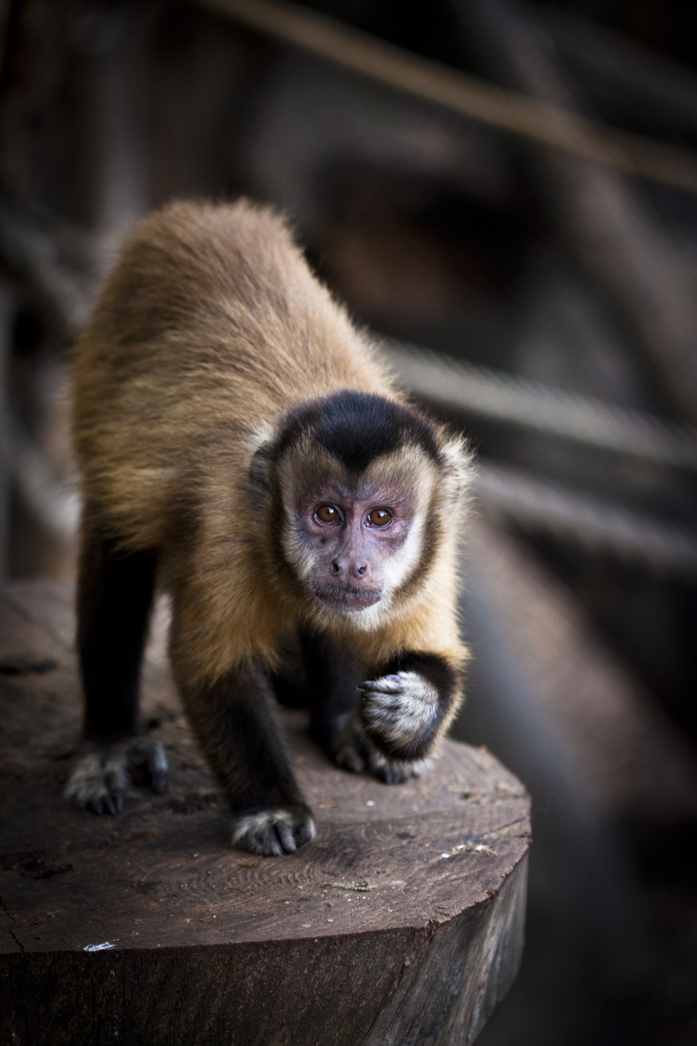 "Quincy, an adult female capuchin monkey (Sapajus spp.). Quincy is one of the 24 capuchins hosted in four groups at the Unit of Cognitive Primatology of the Istituto di Scienze e Tecnologie della Cognizione, CNR, in Rome, Italy, where the project ""Emotional basis of primate reciprocity"" is being carried out. Photo credit:  Sabrina Rossi"