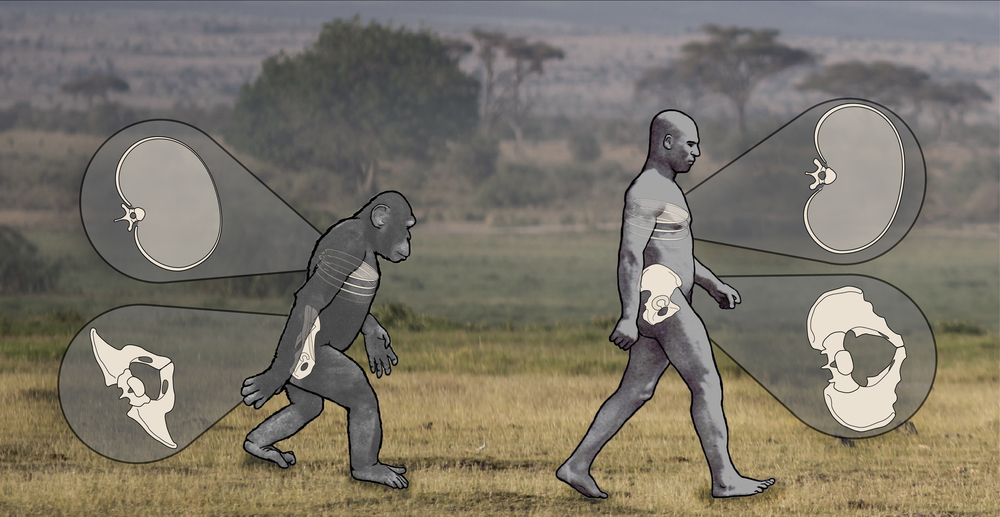 This image depicts pelvis and ribcage rotations during bipedal locomotion. Despite differences in overall motion, there is as much mobility between the pelvis and ribcage in humans as in chimpanzees, suggesting more human-like abilities in our earliest ancestors than previously thought. Credit: Nathan Thompson, Lucille Betti-Nash, and Deming Yang.